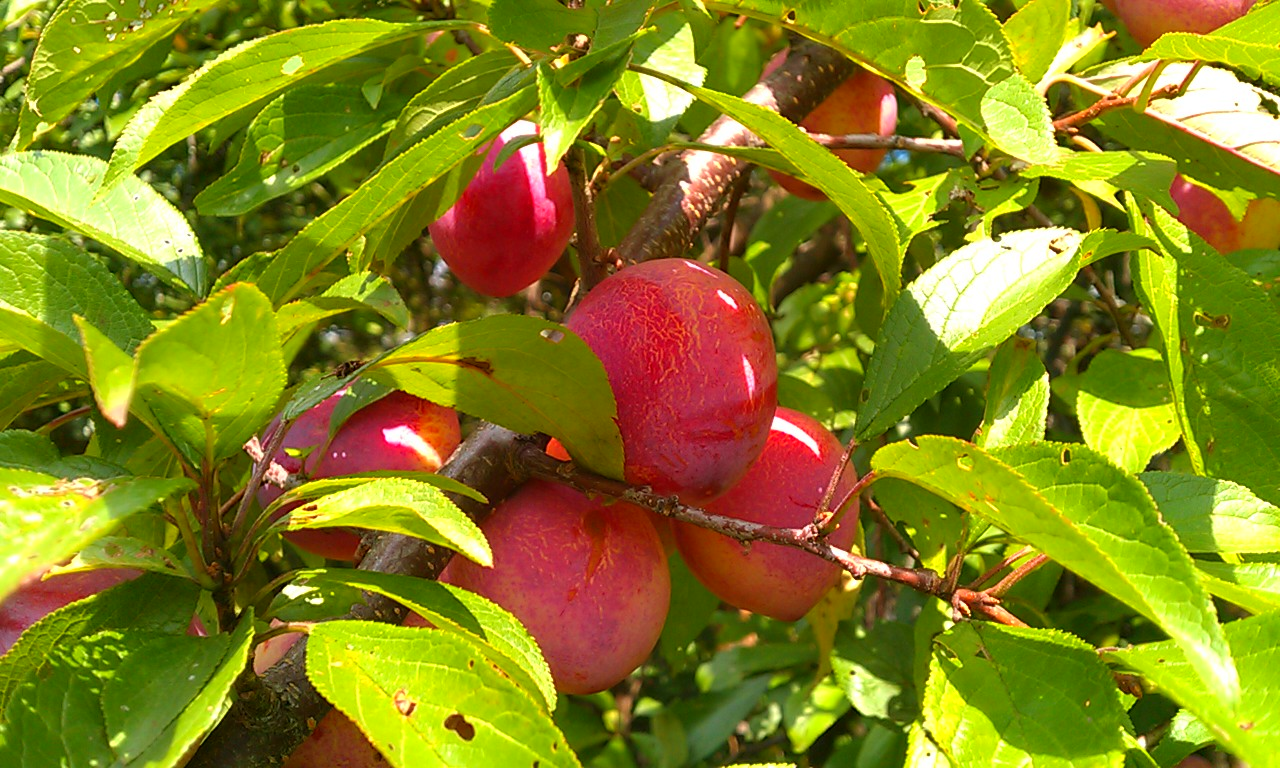 Effortlessly Growing Plums In Vermont Green Energy Times
