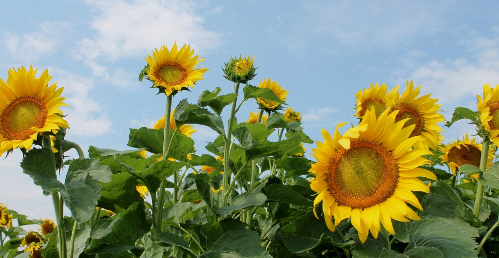 Sunflowers are grown for biodiesel production on Borderview Farm in Alburgh, Vermont. Photo Credit: Vermont Bioenergy Initiative