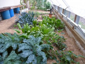 Kale and chard growing in the greenhouse for winter