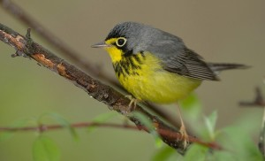 Canada Warbler, one of many birds that depend upon the region. Photo: William H. Maloros