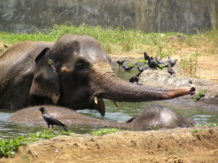 Elephants beat the heat in an Indian zoo. Photo by Elroy Serrao. Wikimedia Commons.