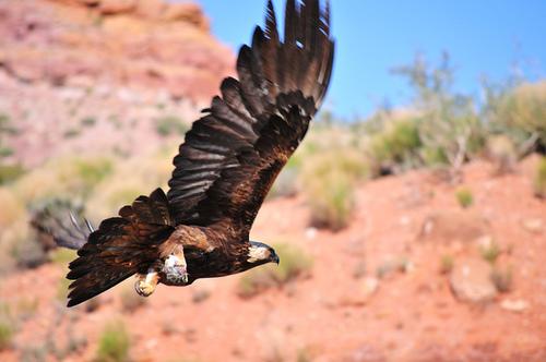 Golden Eagle. (photo credit: Dave Taylor via Flickr)
