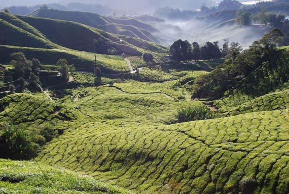 Deforested landscape for tea cultivation in Malaysia. Photo by Myloismylife - Loke Seng Hon. CC BY-SA 3.o unported. Wikimedia Commons.
