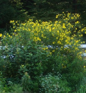 perennial-sunflower-helianthus-100_1276