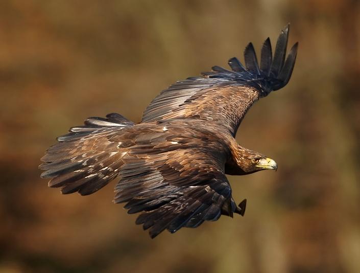 Golden Eagle(Photo by Martin Mecnarowski, CC BY SA, Wikimedia Commons)