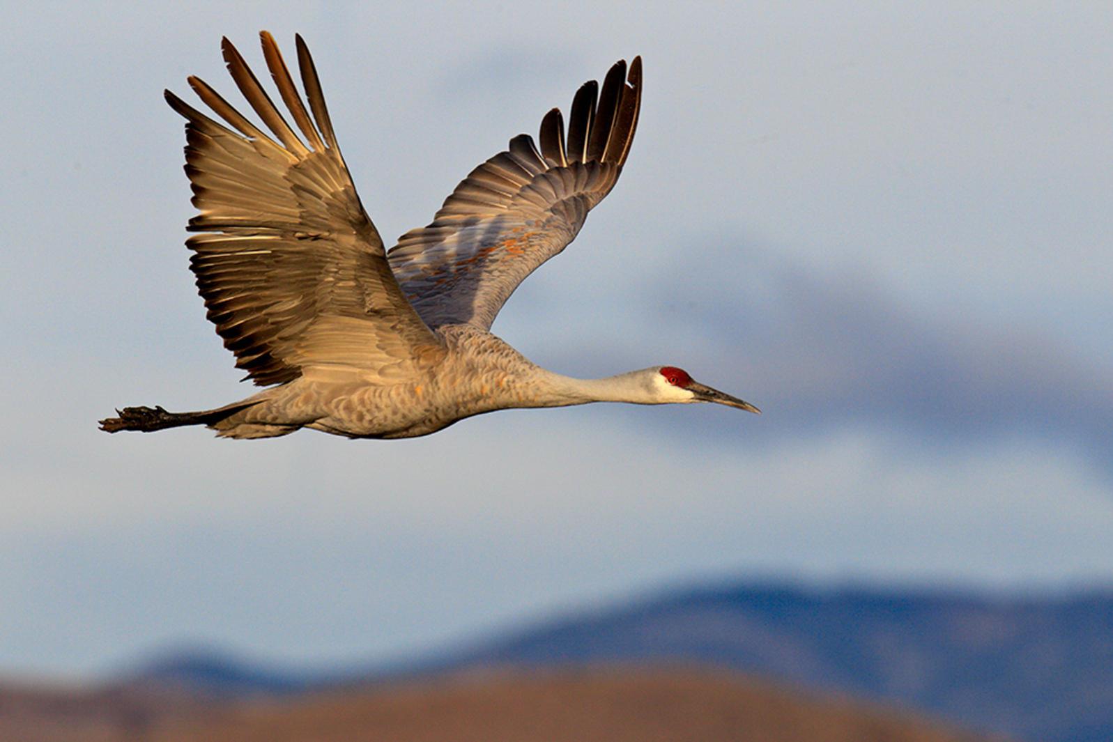 Sandhill Crane(Photo: Sheldon Goldstein / Audubon Photography Awards)
